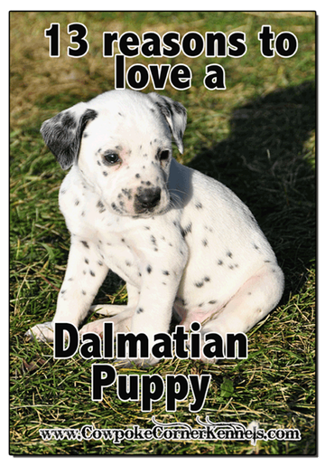 13-reasons-to-love-a-Dalmatian-puppy