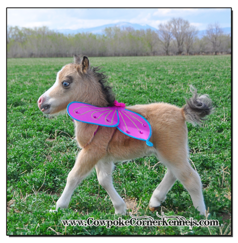 Baby-mini-horse-with-wings 0883