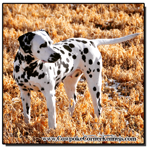 Beautiful-dalmatian-dog 0726