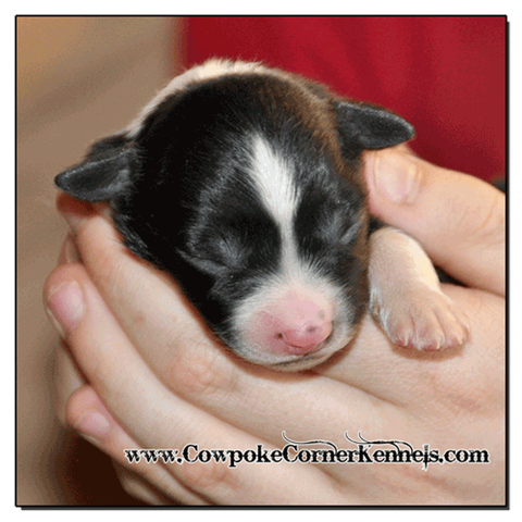 Black-tri-male-miniature-australian-shepherd 0340