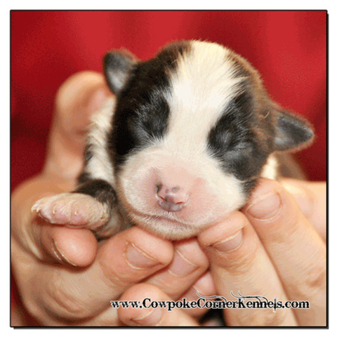 Black-tri-male-miniature-australian-shepherd 0360
