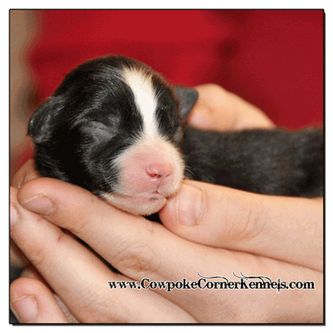 Black-tri-male-miniature-australian-Shepherd 0334