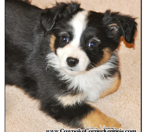 Black-tri-mini-aussie_0128