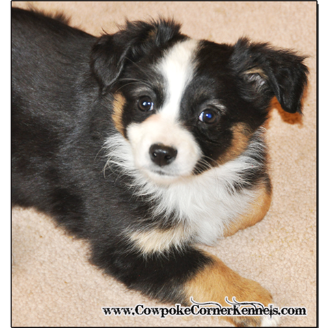 Black-tri-mini-aussie 0128