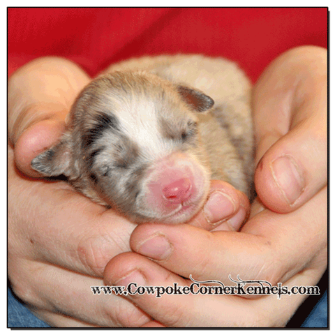 Blue-Merle-female-Australina-Shepherd 0283
