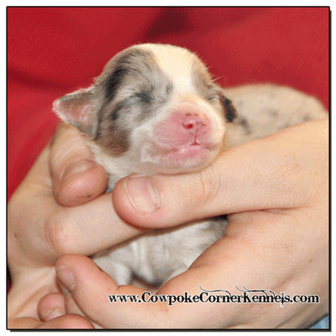 Blue-Merle-Female-miniature-australian-shepherd 0305