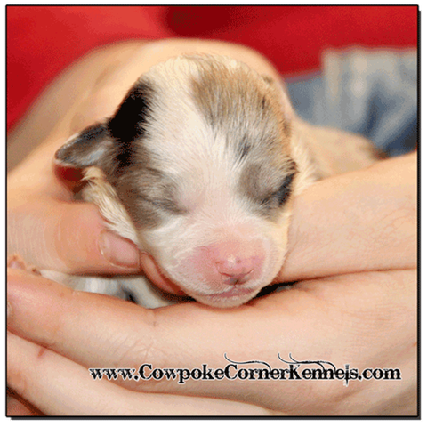 Blue-merle-female-miniature-australian-shepherd 0310