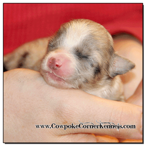 Blue-Merle-Female-Miniature-Austrlian-Shepherd 0294