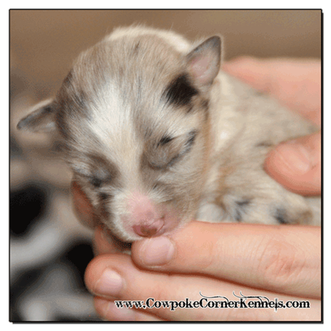 Blue-merle-male-miniature-Australian-Shepherd 0365