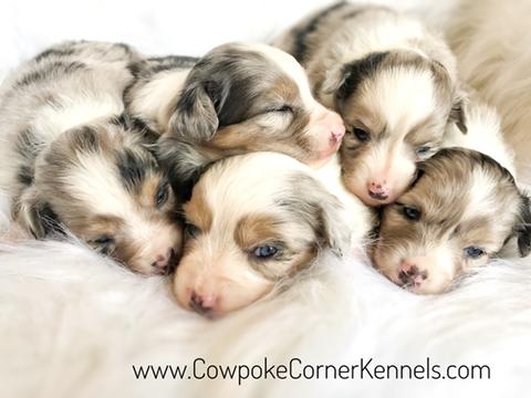 Blue-Merle-Miniature-Australian-Shepherds 5501