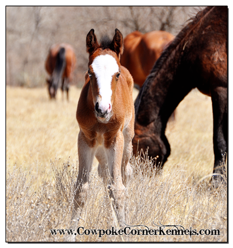Bobby-Sue-Bucking-horse-foal 0076