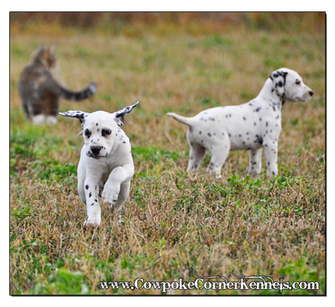 Bullseye-and-Bronco-Dalmatian-Puppies 0550