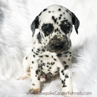 Button-Dalmatian-puppy 3622