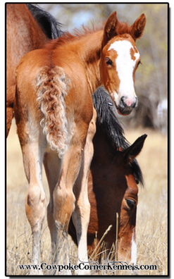 Curly-bucking-horse-foal-tail 0151