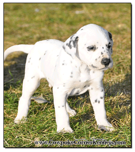 Cute-Dlamatin-Puppy-for-sale 1479