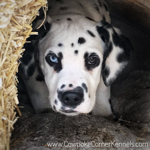 Dalmatian Puppies Cowpoke Corner Kennels And Ranch