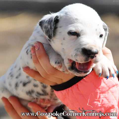 Dispatch-Dalmatian-puppy 0964