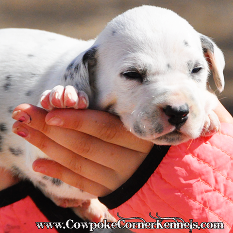 Engine-dalmatian-puppy 0019