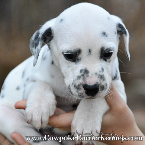 EngineSnoopy-dalmatian-puppy 0883