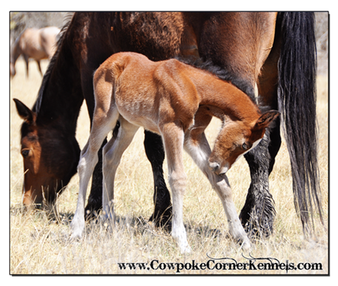 glass-eyed-bucking-horse-foal 0103