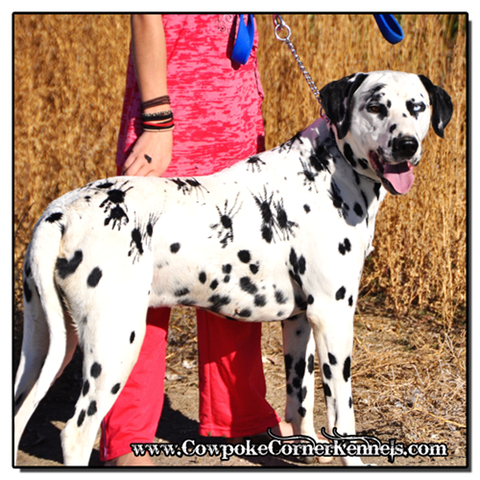 Dalmatian Halloween | Spidey The Spotty Dog Cowpoke Corner Kennels And Ranch