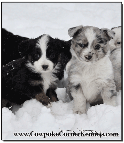 Mini-Aussie-female-pups 0460