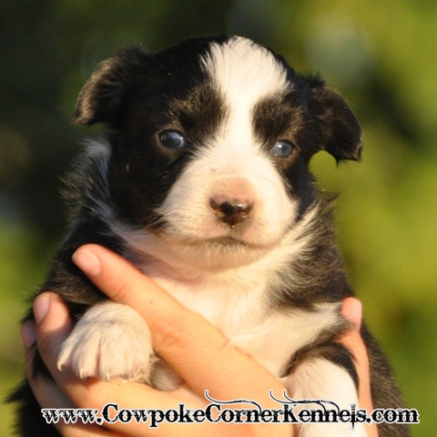 Mini Aussie Flurry 0320