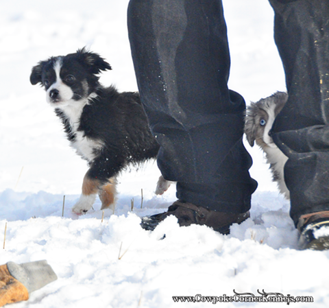 Mini-aussie-girl-puppies 0017
