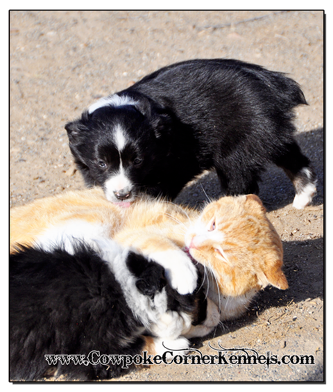 Mini-aussie-puppies-and-cat 0622