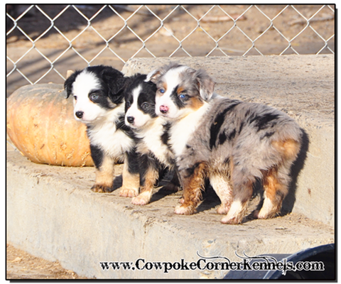 Mini-Aussie-Puppies 0114