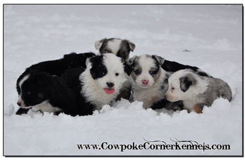 Mini-Aussie-Puppies 0413