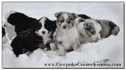 Mini-Aussie-Puppies 0458