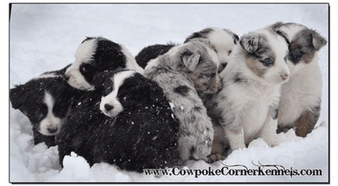 Mini-aussie-puppies 0469