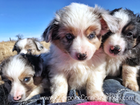 Mini-aussie-puppies 6869