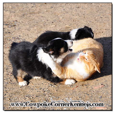 mini-aussie-pups-and-cat 0646