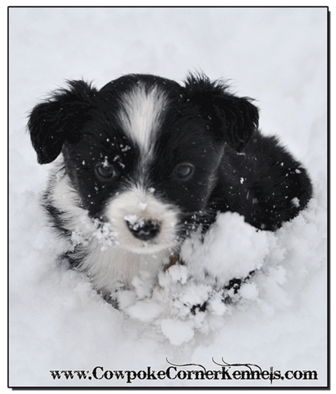 Mini-Aussie-Zailey 0425