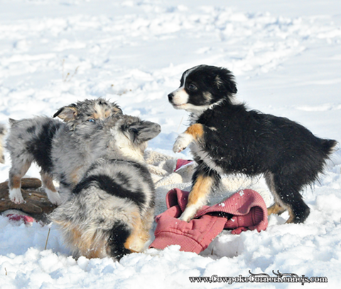 Miniature-australian-shepherd-puppies 0944