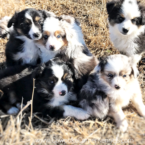 Miniature-australian-shepherd-puppies 6977