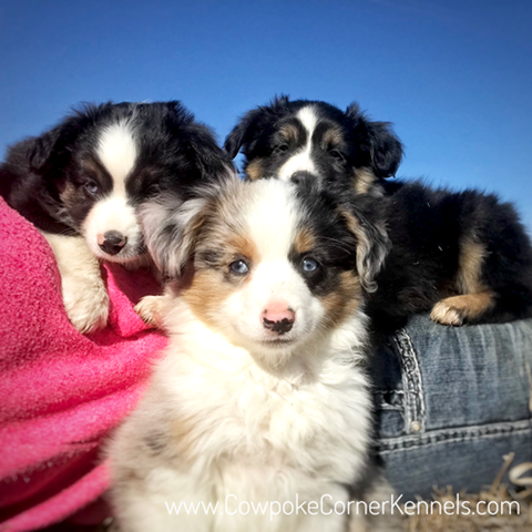 Miniature-australian-shepherd-puppies 6916