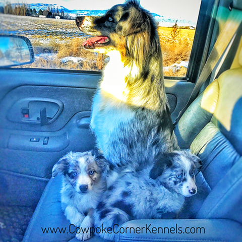 Miniature-australian-shepherds-riding-shot-gun 0088
