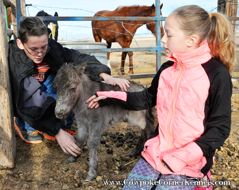 Miniature-horse-baby 0782