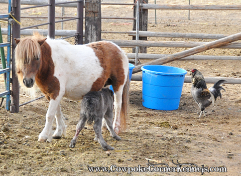Miniature-horse-baby 0796