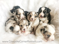 Rainy's-mini-aussie-puppies 6127