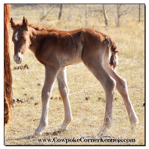 Red-Cat-Bucking-horse-filly 0335