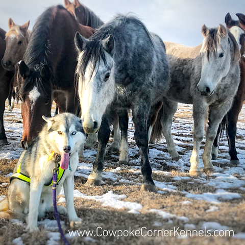 Sled-dogs-and-bucking-horses 5008