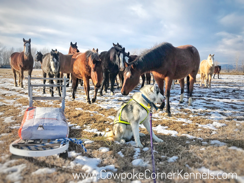 Sled-dogs-and-bucking-horses 5001