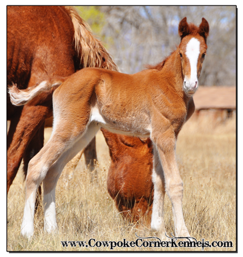 Sorrel-bucking-horse-colt 0146