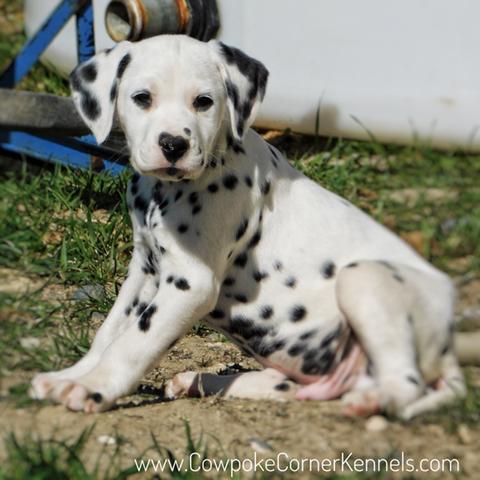 Dalmatian Puppies Cowpoke Corner Kennels And Ranch