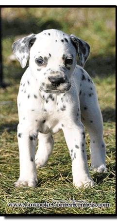 Stnding-Dalmatian-puppy-for-sale 1480