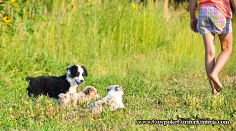 Toy-puppies 0647